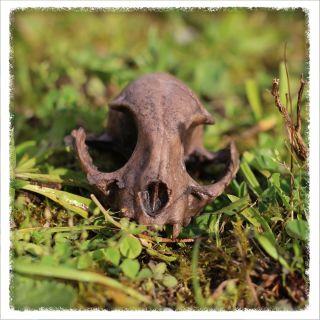Skull - marten