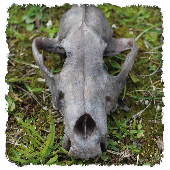 Skull - wolf